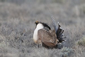 Gunnison sage grouse recovery plan stops lawsuit