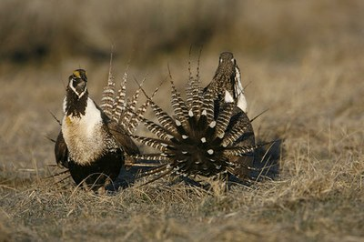 Gunnison sage grouse gets divisive 'threatened' listing