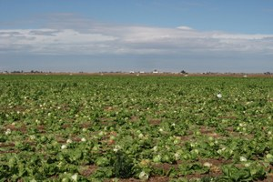 Technology is cropping up in our lettuce fields