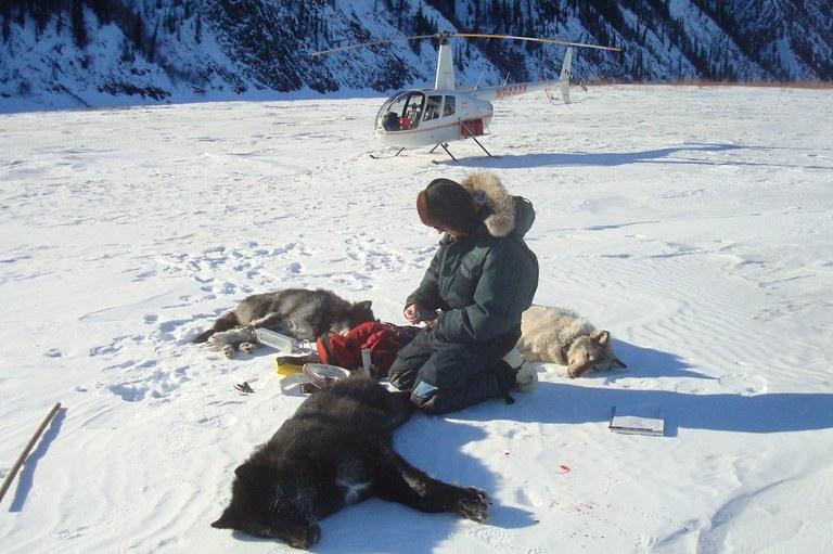 Sweeping new rule for Alaska's predator control