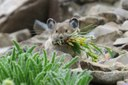 American pika disappearing from Western regions