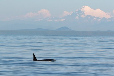 The disappearance of Washington's killer whales
