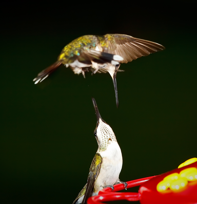 Are we smarter than the hummingbirds?