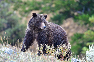 Yellowstone grizzlies keep endangered species protections