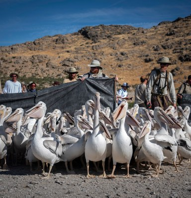 A remote island sees just a third of its pelicans return for breeding season