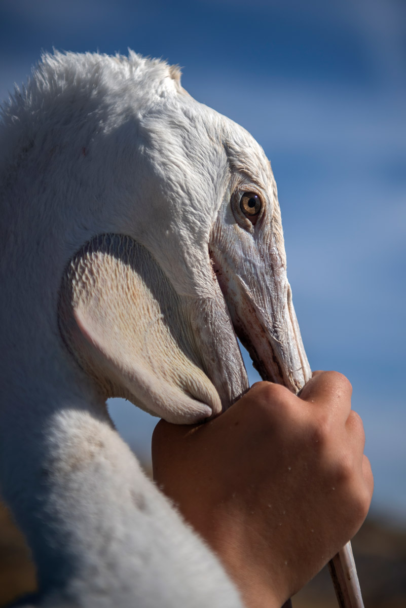 A Remote Island Sees Just A Third Of Its Pelicans Return For Breeding Season High Country News Know The West