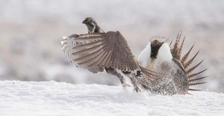 More plans, less protection for sage grouse — High Country News on squirrel house plan, bird house plan, rabbit house plan, cypress house plan, swan house plan, chicken house plan, pelican house plan, kingfisher house plan, finch house plan, duck house plan,