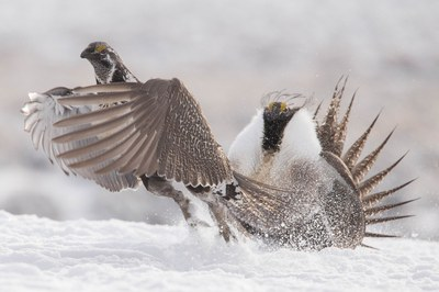 More plans, less protection for sage grouse
