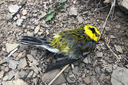 Study finds wildfire caused massive bird die-off