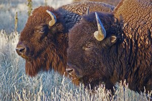 Why is Montana giving its bison specialist the boot?