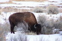 Bison, cows and rabbits square off on Utah range