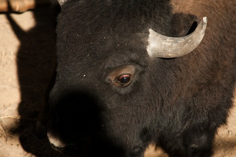 A bison in the squeeze chute where it was being held for tests.