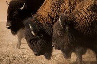 Bison roundup at Rocky Mountain Arsenal refuge, in photos