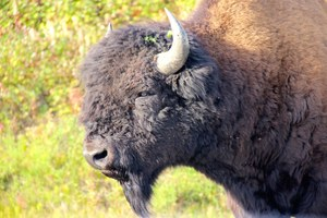 Bison to be reintroduced in Banff, new plans for Yellowstone herd