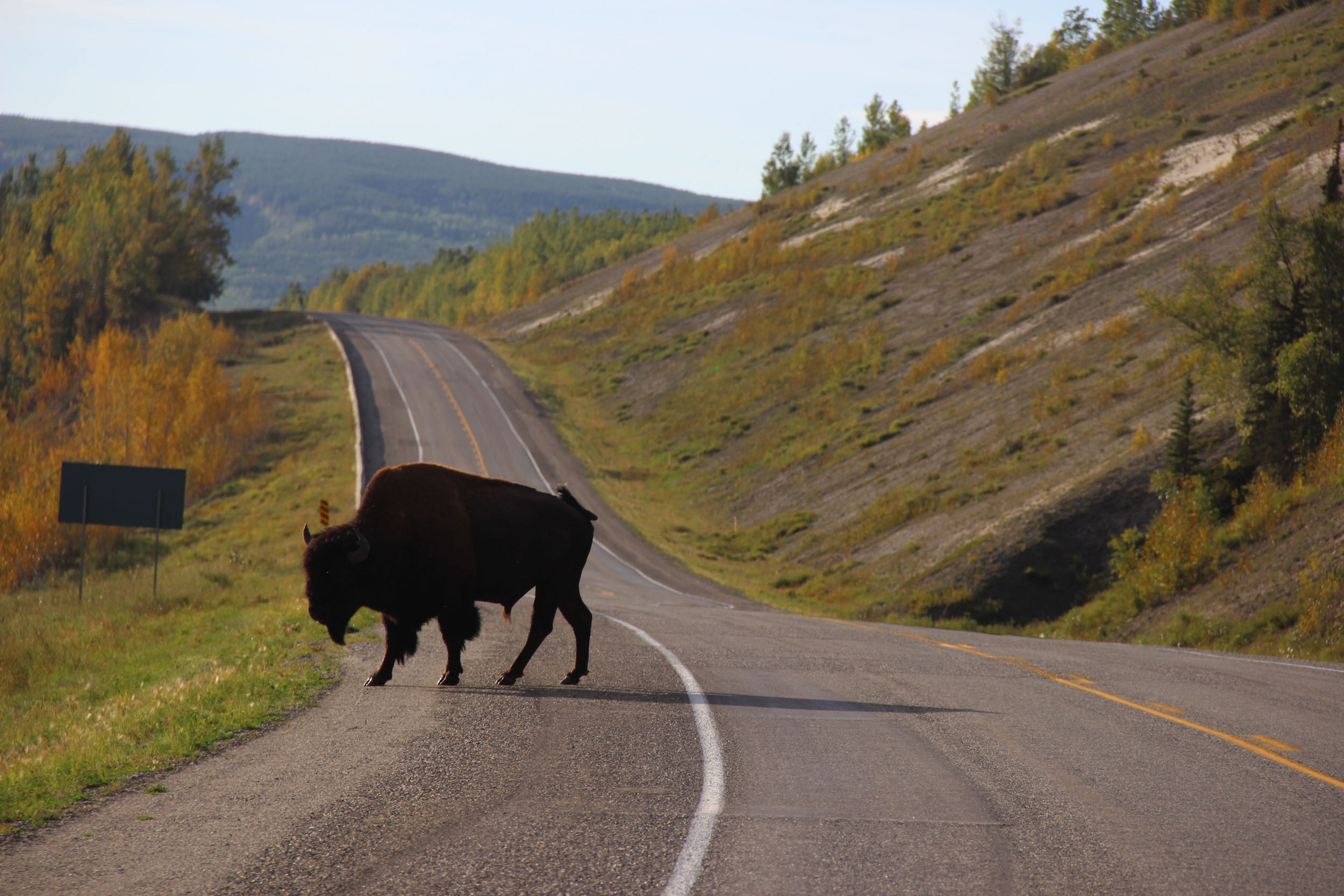 A wood bison meanders across the Alaska Highway in northern British Columbia. Photo by Ben Goldfarb