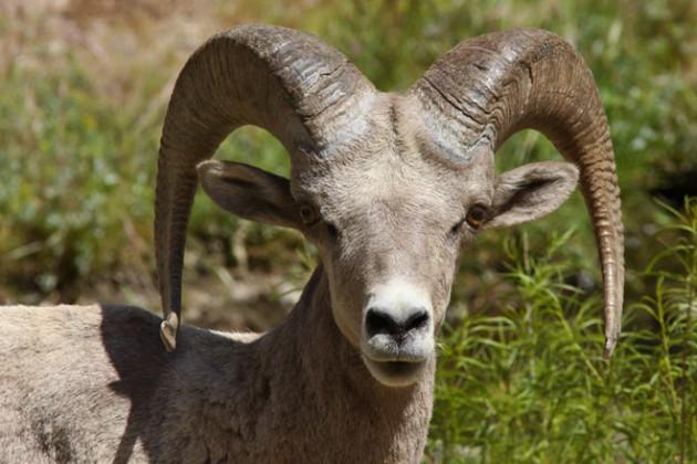 Desert bighorn sheep. Photo by David Lamfrom