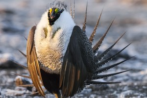 BLM mulls energy development in sage grouse habitat