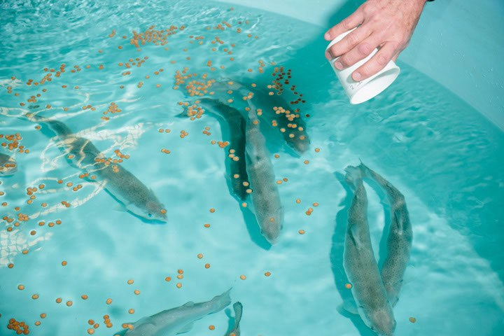 Can plant based feeds make aquaculture sustainable high for Raising tilapia in a pool