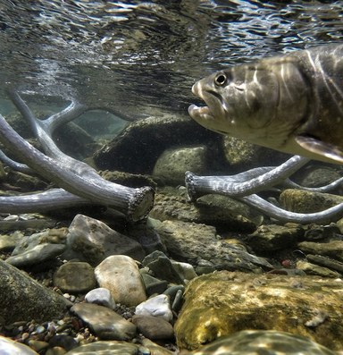 Glacier National Park reshuffles native trout