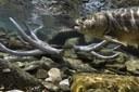Glacier National Park reshuffles native trout