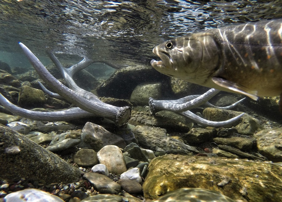Glacier national park reshuffles native trout washington for Fly fishing glacier national park