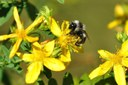 Chasing the rarest bumblebee in the world