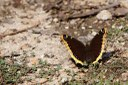 Butterflies in the West are disappearing