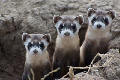 New Endangered Species Act rules open door to looser protections
