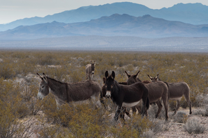 What are wild burros doing to Death Valley?