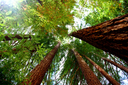 What's the best way to save California's redwoods?