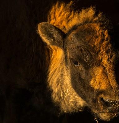 Bringing wild bison and an endangered ecosystem back