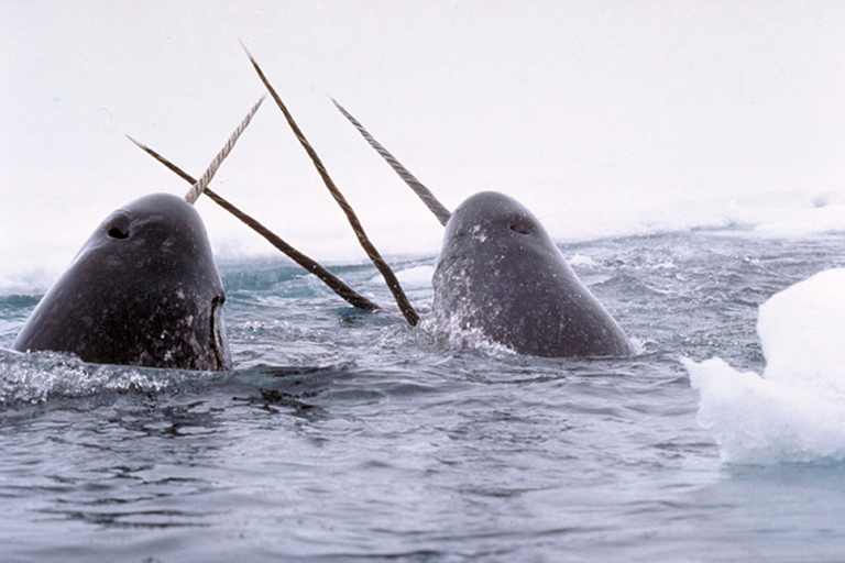 What the narwhal can tell us about the climate crisis