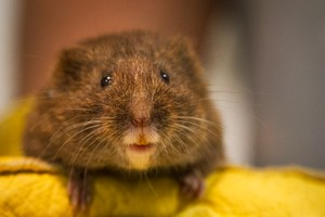Consider the vole, endangered and adorable