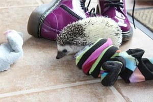 Rants from the Hill: Hedgehog comes to the High Desert