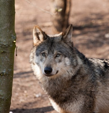 How a ruling on gray wolves could impact grizzlies