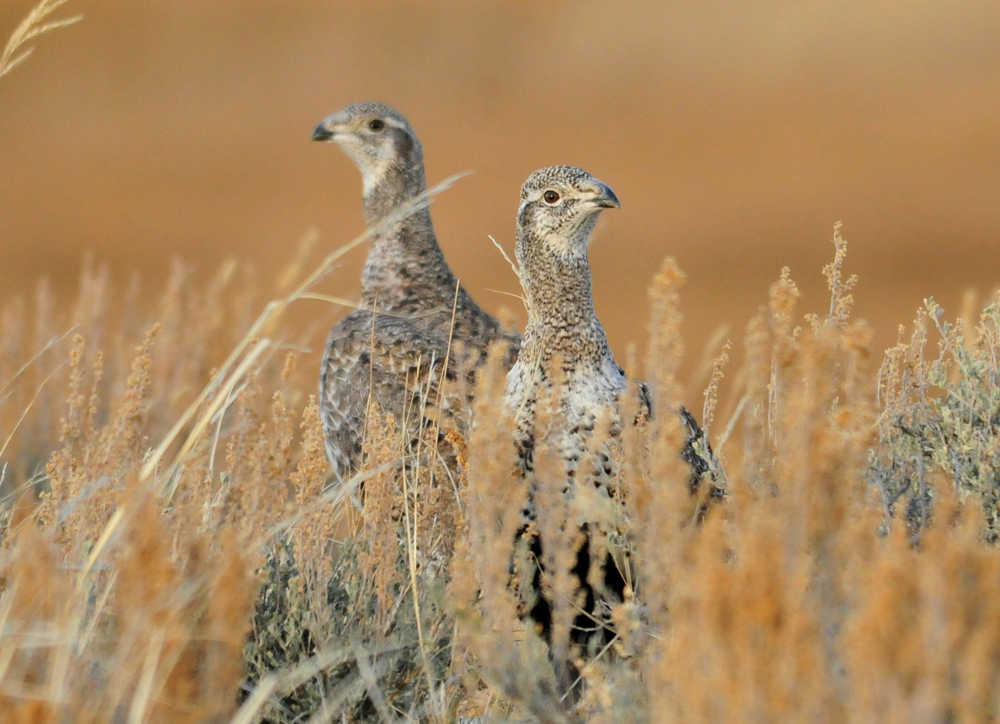 Greater sage grouse hens.