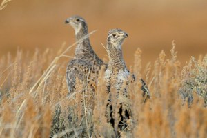 Cue the greater sage grouse lawsuits