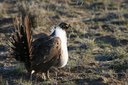 Defense bill threatens sage grouse survival