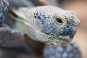 Desert tortoise militia occupies Bundy Ranch