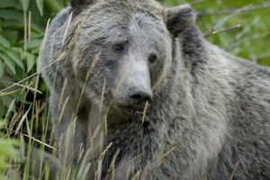 Don't delist: Yellowstone grizzlies still need federal protection