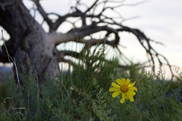 flowertreecedarmesa-jpg