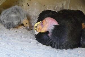 California condors reach recovery milestone