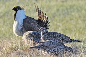 Comment period ending for sage grouse review