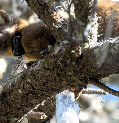 Endangered martens are living on the edge in Oregon