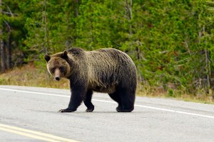 How politics could impact future counts of Yellowstone grizzlies