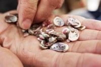 Washington's giant sea snail still needs saving