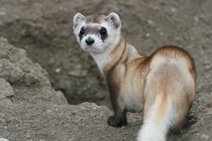 What threatens the black-footed ferret?