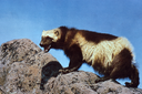 Wolverines denied endangered species protections