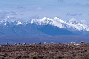 Senate opens a path to drill the Arctic National Wildlife Refuge