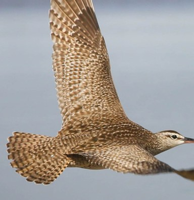 What makes a whimbrel?